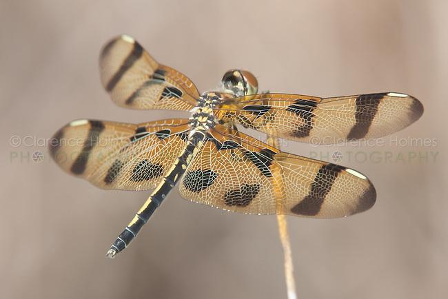 Halloween Pennant (Celithemis eponina) Dragonfly - Female, Lake Kissimmee State Park, Lake Wales, Polk County, Florida