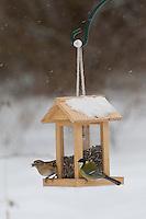 Kohlmeise und Bergfink an der Vogelfütterung, Fütterung im Winter bei Schnee, mit Körnern gefüllten Futtersilo, Winterfütterung, Kohl-Meise, Meise, Parus major, great tit, Berg-Fink, Fringilla montifringilla, brambling
