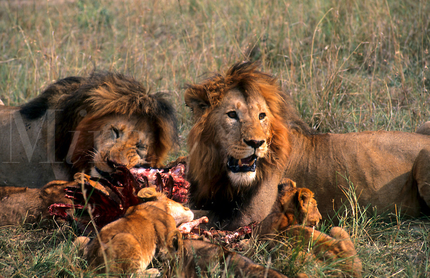 Male lions and cubs ripping fresh kill for food in Maasai area, Kenya, Africa