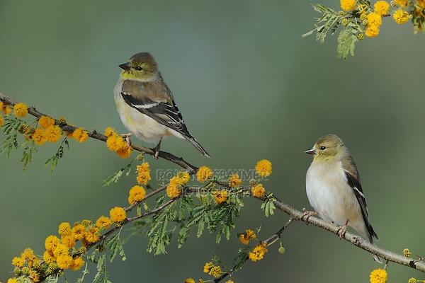 American Goldfinch (Carduelis tristis), adults perched on Huisache tree (Acacia farnesiana), Dinero, Lake Corpus Christi, South Texas, USA