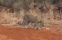 Namibia Africa leopard in wild at Okonjima Private Reserve at Okonjima Bush Camp on safari