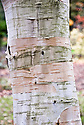 Bark of West Himalayan birch (Betula utlis var. jacquemontii 'Inverleith').