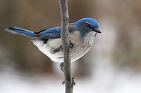 Western Scrub Jay shot early morning, after a rare snowfall here in Central Texas (Jan 2014).