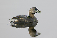Pied-billed Grebe swimming on a lake