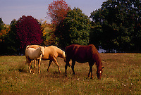Three horses graze in fall field with wild flowers and full color leaves, Midwest USA