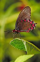 PARIDES MONTEZUMA Butterfly, a Neotropical butterfly photographed at Audubon Zoo. Subfamily - Papilioninae; Family - Papilionidae; O - Lepidoptera; Class - Insecta; Phyllum - Arthropoda; Kingdom - Animalia. NEW ORLEANS LOUISIANA USA AUDUBON ZOO.