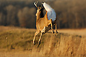 00274-308.20 White-tailed Deer Buck (DIGITAL) is bounding with tail raised across large meadow.  Run, leap, hunt, prey, action, prairie.  H4A1