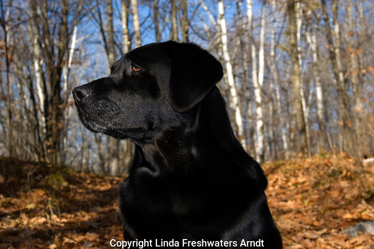 Black Labrador retriever (AKC) profile in fall woods.  Winter, WI.