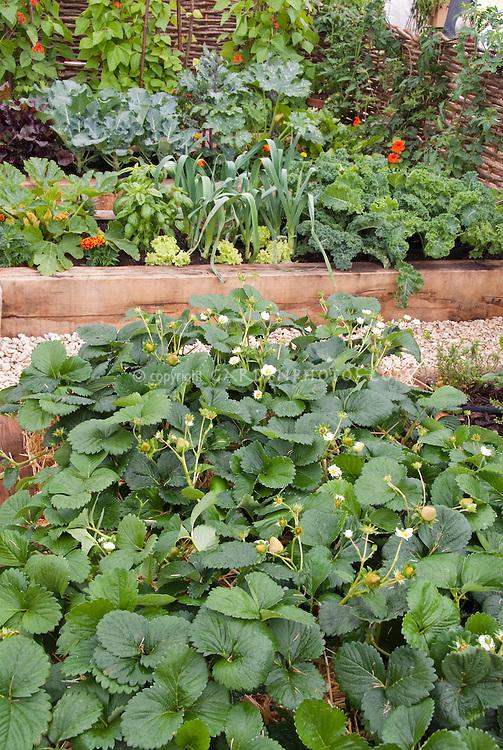 Strawberries growing in vegetable and fruit garden, in bloom flowering