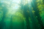 Catalina Island, Channel Islands, California; beams of sunlight shine through the canopy of Giant Kelp (Macrocystis pyrifera) covering the water's surface in a secluded cove