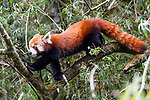 Adult red panda (Ailurus fulgens) (western subspecies A. fulgens fulgens) (sometimes lesser panda, red bear-cat, red cat-bear) climbing in bamboo forest understorey. Mid montane forest, Himalayan foothills, Singalila National Park, India / Nepal Border.