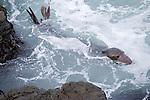 San Simeon, California; a sub-adult male Northern Elephant Seal (Mirounga angustirostris) in the water near the rocky shoreline