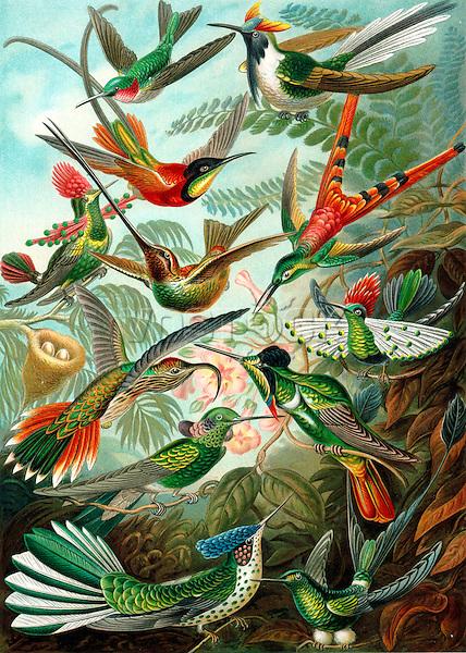 Hummingbirds (Trochilidae), by Ernst Haeckel, 1904