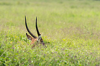 Male Defassa Waterbuck, Kobus ellipsiprymnus defassa, grazing behind tall plants in Lake Nakuru National Park, Kenya