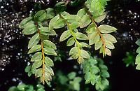 Gesäumtes Sternmoos, Mnium marginatum, Mnium serratum, Mnium riparium, Mnium adnivense