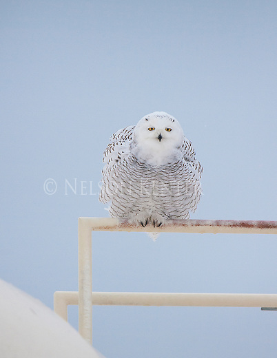 Snowy Owl on a railing in Montana