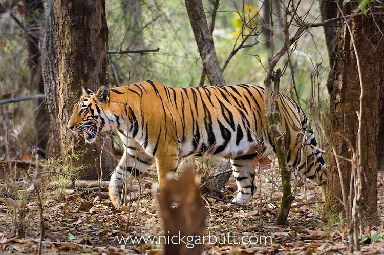 Female Bengal Tiger (Panthera tigris tigris) (Lakshmi) patrolling territory. Heavily pregnant (teats visible). Bandhavgarh NP, India.
