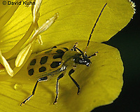 0112-07xx  Spotted Cucumber Beetle - Diabrotica undecimpunctata © David Kuhn/Dwight Kuhn Photography