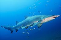 sand tiger shark, Carcharias taurus, also known as Raggedtooth shark and Gray nurse shark. North Carolina, USA, Atlantic Ocean