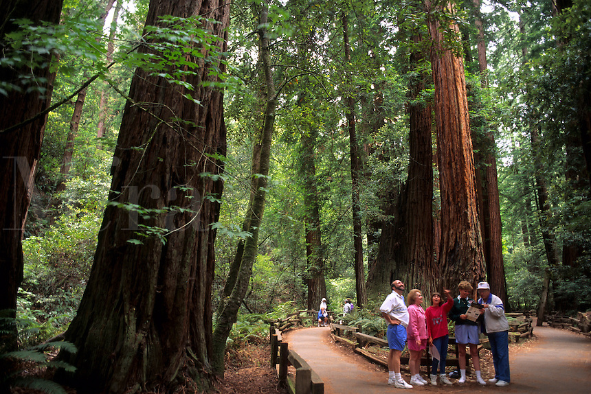Old  Redwood trees and trail with tourist enjoying the  Muir Woods near San Francisco California US
