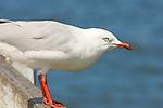 Silver Gull, Larus novachollandiae