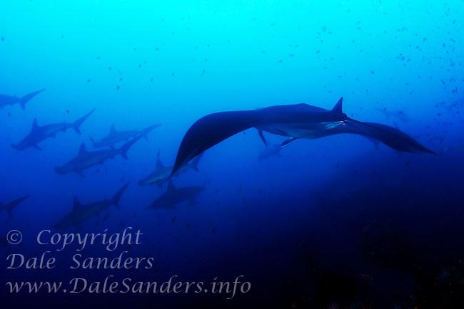 A huge Manta Ray (Manta birostris) cuts a swath through a large school of Scalloped Hammerhead Sharks (Sphyrna lewini) underwater off the Galapagos Islands of Ecuador.