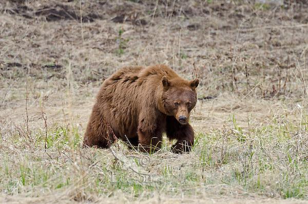 Cinnamon phase Black Bear (Ursus americanus), Western U.S., May.  Brown or cinnamon is a common color phase of Western black bear.