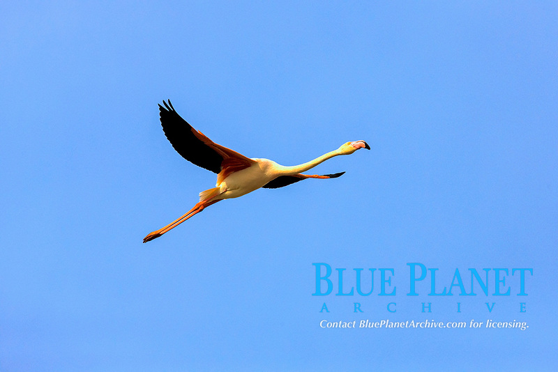 Greater Flamingo (Phoenicopterus ruber roseus), flying, Saintes-Maries-de-la-Mer, Camargue, France, Europe