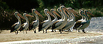 A group of brown pelicans in Australia waits alertly onshore for the incoming tide to bring schools of fish.