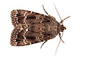 Copper Underwing {Amphipyra pyramidea}, photographed in mobile field studio on a white background. Surrey, UK. August.