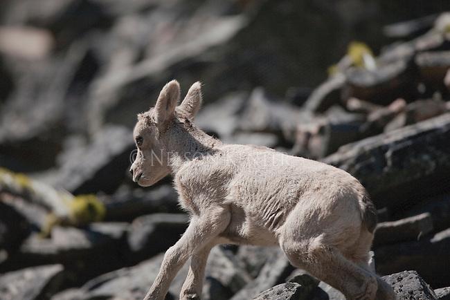 Bighorn Sheep lamb in Montana running across a rock slide