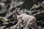 Bighorn Sheep lamb in Montana running across a rock slide
