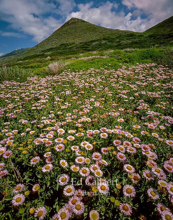 Seaside Daisies, Garrapata State Park, Monterey County, Big Sur, California