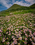 Seaside Daisies, Garrapata State Park, Monterey County, Big Sur, California