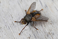 Igelfliege, Raupenfliege, Tachina fera, Tachinid Fly, parasitic fly, la Tachinaire sauvage, Tachinidae, Raupenfliegen, Igelfliegen, Schmarotzerfliegen, tachinids, parasitic flies