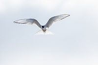 "While residents of Anchorage have been ""hunkering down"" and avoiding travel for many weeks during the COVID-19 pandemic, the Arctic terns that nest in the Anchorage Coastal Wildlife Refuge have been completing one of the longest migrations on earth. The ""bird of perpetual summer,"" Arctic terns feed in Antarctic waters during summer in the Southern Hemisphere before flying to Arctic waters to breed during summer in the Northern Hemisphere. As a result, these small birds likely experience more daylight than any other animal on earth."