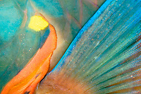 pectoral fin of stoplight parrotfish, Sparisoma viride, terminal phase, Towanda, City of Washington, wreck at night, Key Largo National Marine Sanctuary, Florida, Caribbean, Atlantic Ocean