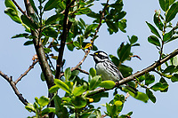 Male Black-throated Gray Warbler (Setophaga nigrescens).<br />