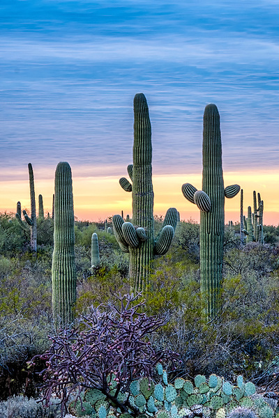 Colorful sunset with Saguaros in desert landscape