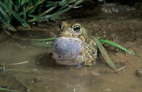 Natterjack Toad , Bufo calamita, male calling at night, Edlibach, Zug, Switzerland, Europe