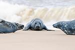 Three seals on Horsey Beach by Laura Lake