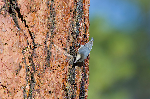 Pygmy Nuthatch (Sitta pygmaea) on side of ponderosa pine tree.  Western U.S., fall.  Nuthatch is looking for insects drawn to the sap flowing out of the woodpecker holes.