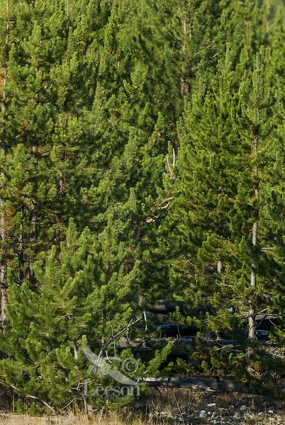Rocky Mountain Bull Elk (Cervus elaphus) hidden among young lodgepole pines.  Rocky Mountain area.  Fall.