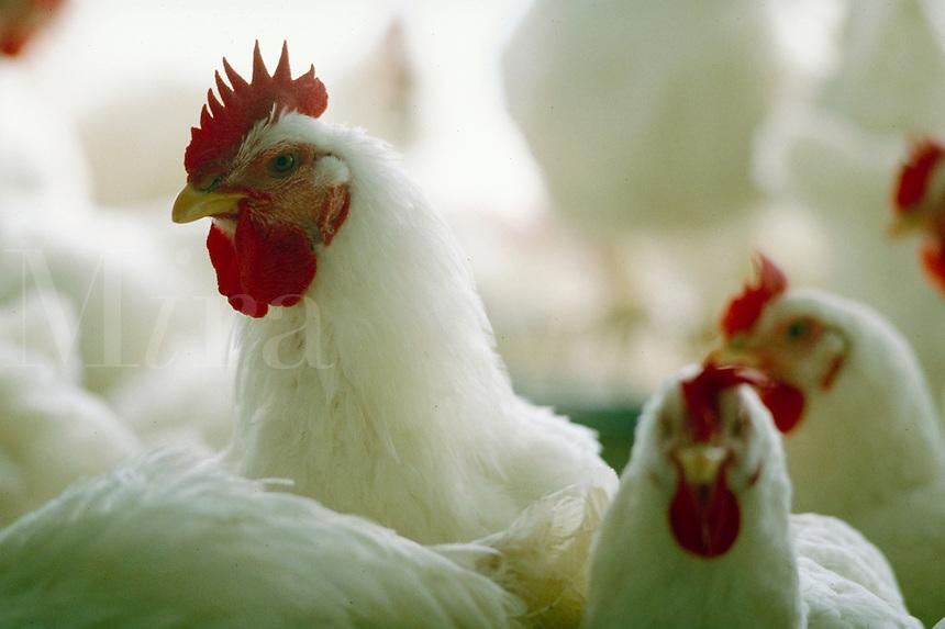 Close-up shot of chickens in coop. chicken coop.