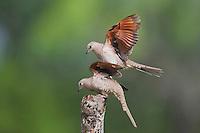 Inca Dove (Columbina inca), pair mating, Sinton, Corpus Christi, Coastal Bend, Texas, USA