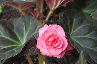 Begonia Mocca Pink tuberous begonia in flower with chocolate colored leaves with green leaf veins
