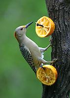 Adult female golden-fronted woodpecker at orange feeder