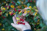 Weißdorn-Ernte, Früchte von Weißdorn sammeln, ernten, pfücken, Weißdorn-Beeren, Weissdorn-Beeren, Weißdornbeeren, Weissdornbeeren, Beeren, Beere, Zwqeigriffliger Weißdorn, Zweigriffeliger Weißdorn, Weißdorn, Weissdorn, Weiß-Dorn, Weiss-Dorn, Crataegus laevigata, Crataegus oxyacantha, midland hawthorn, English hawthorn, woodland hawthorn, mayflower, May, berries, berry, L'Aubépine lisse, Aubépine à deux styles, Aubépine épineuse