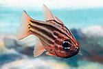 Striped cardinal fish swimming 45 degrees to camera