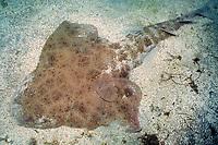 Pacific angel shark, Squatina californica, California, East Pacific Ocean